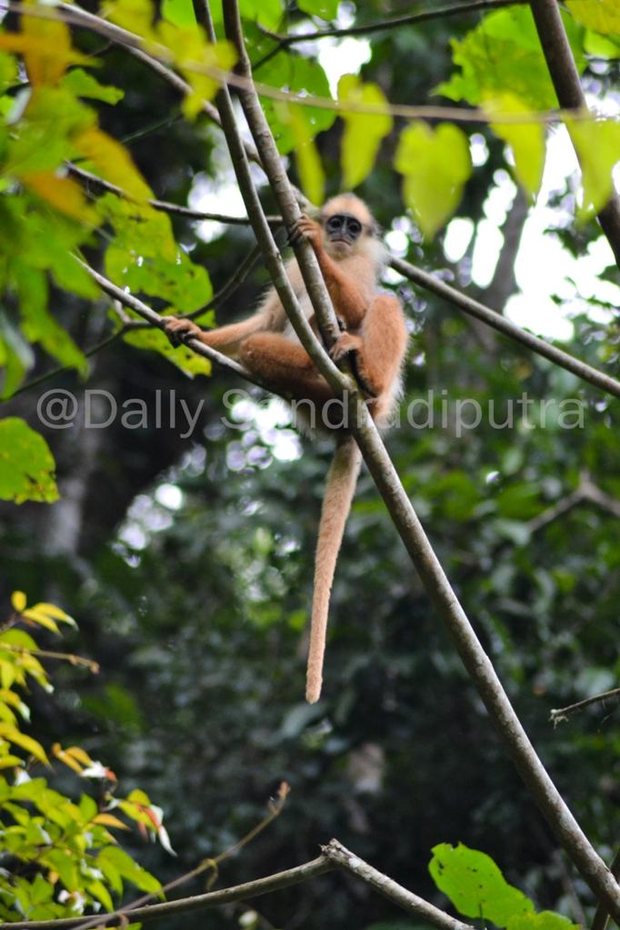 Simpai Sumatera